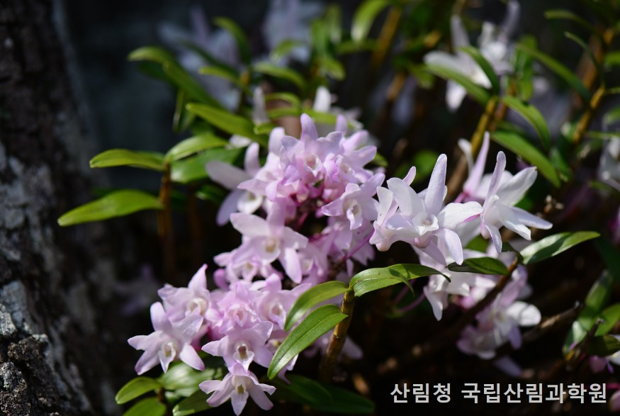 5월초 석곡 꽃.JPG